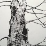 Ancient Maple, pencil drawing, Rebecca Lang